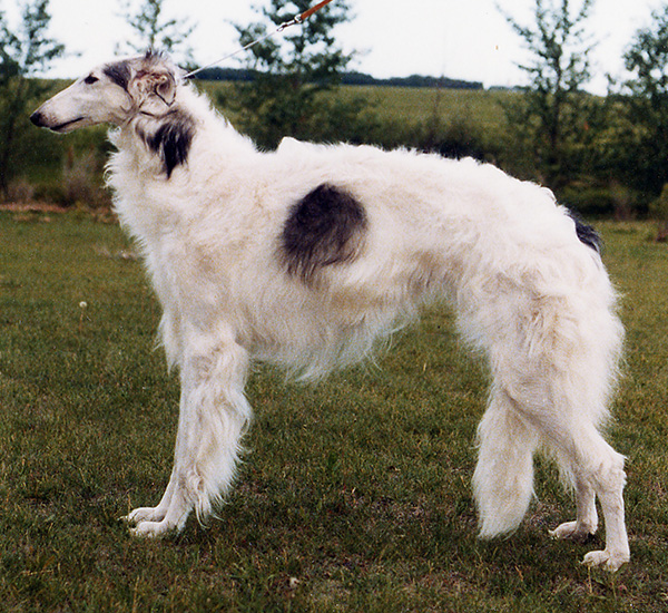 Borzoi Canada 1982 National Best in Sweepstakes